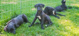 Sleepy Deerhound pups enjoying the sunshine at Fern Hill Scottish Deerhounds - as filmed by Artful Productions - the Slow TV / Slow Film store