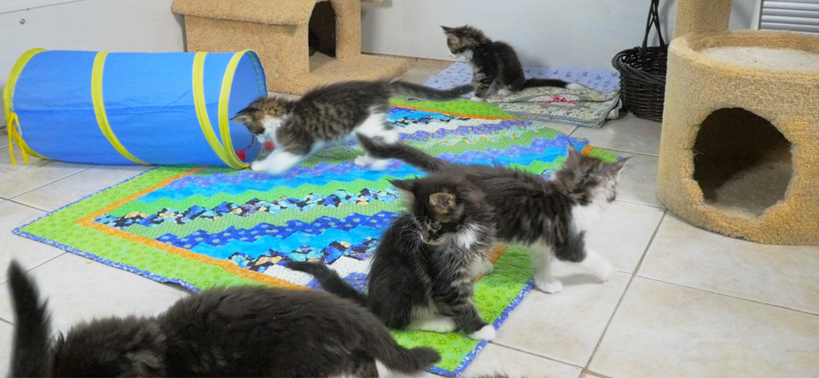 A consternation of Maine Coon kittens of SR Maine Coons - filmed by Artful Productions - the Slow TV / Slow Film store