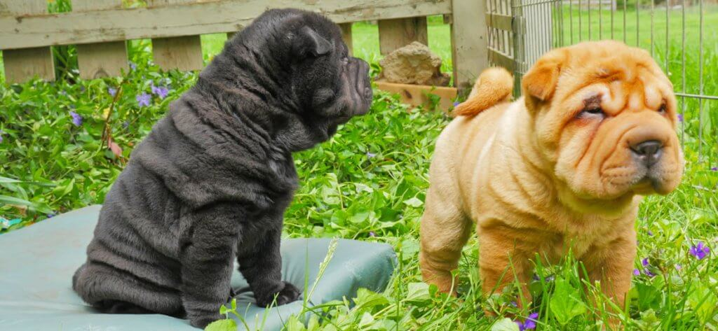 Shar Pei puppies taking their first steps outside amidst new spring violets - filmed by Artful Productions - the Slow TV / Slow Film store