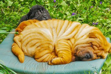 Shar Pei puppies, 5 weeks and 14 weeks old, having a snooze amidst new spring violets. Bred by Gumby's Chinese Shar-Pei kennels. Filmed by Artful Productions - the Slow TV / Slow Film store