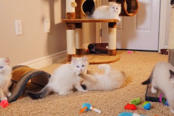 When you see this many innocent faces, you know someone's being bad. These 11 week old Ragdoll kittens were bred by PurrReal Dolls Ragdoll Cattery. Filmed by Artful Productions - the Slow Tv / Slow Film store.